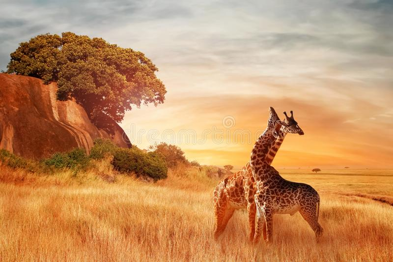 Giraffes in the African savannah. Beautiful african landscape at sunset. Serengeti National Park. Africa. Tanzania royalty free stock photography