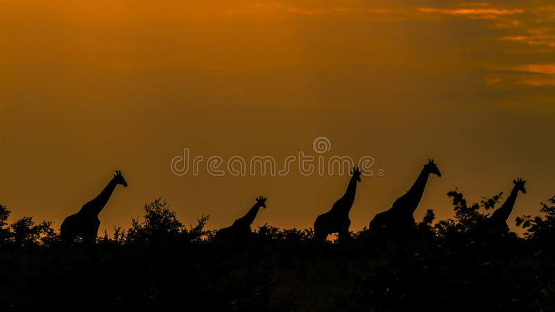 Giraffes in an amazing sunset , Kruger Park, South Africa royalty free stock photography