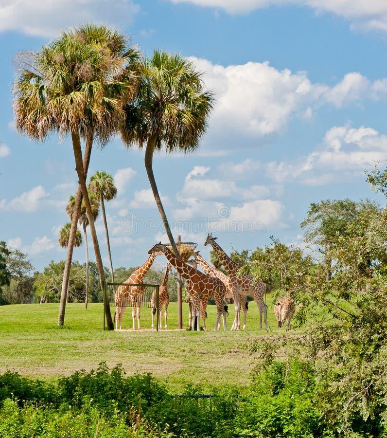 Giraffes in animal kingdom park. Group of giraffes eating in animal kingdom park royalty free stock photo