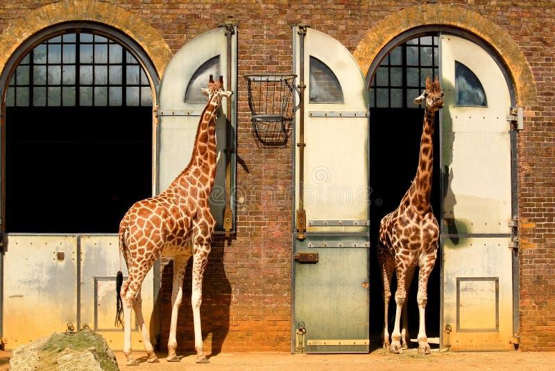 Giraffes au zoo de Londres image libre de droits