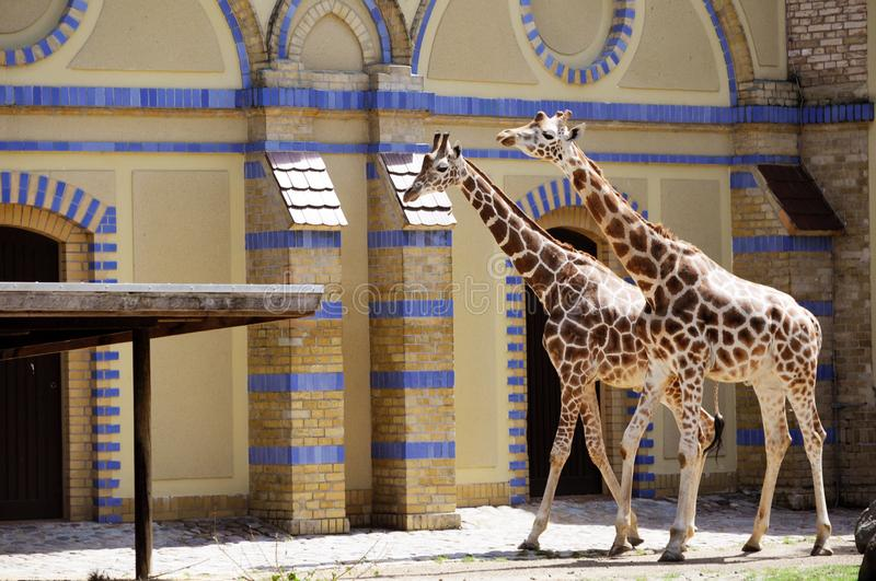Giraffes in the Berlin zoo. A couple of giraffes. Wild animals. Oriental style building. Summer in Germany stock images
