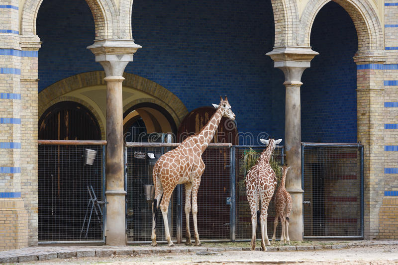 Giraffes in the Berlin Zoo. Family of giraffes in the Berlin Zoo royalty free stock photography
