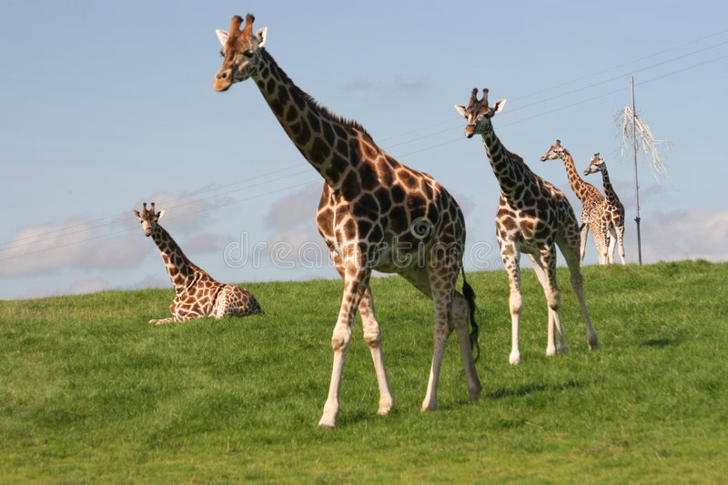 Giraffes Big Walk