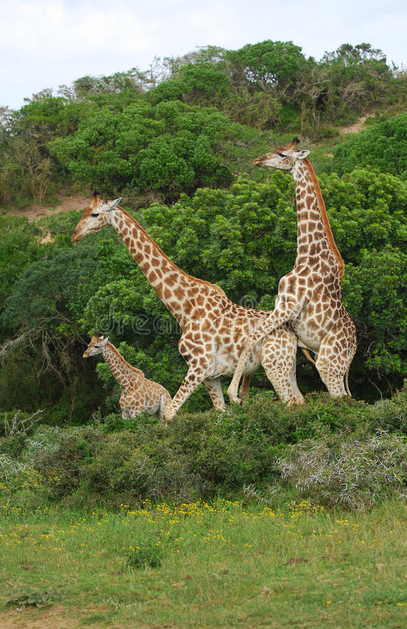 Download Giraffes breeding stock photo. Image of standing, mating - 21048080