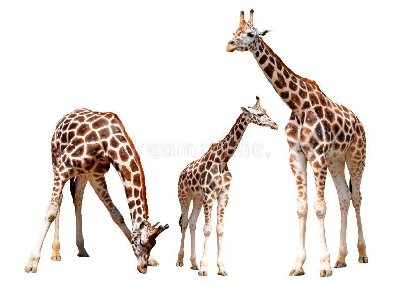 Giraffes d'isolement photos stock