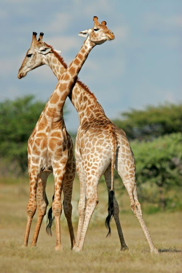 Giraffes da luta   foto de stock