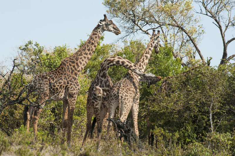 Giraffes da luta fotografia de stock