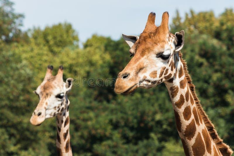 Giraffes dans le zoo La girafe est l'animal le plus grand au monde images stock