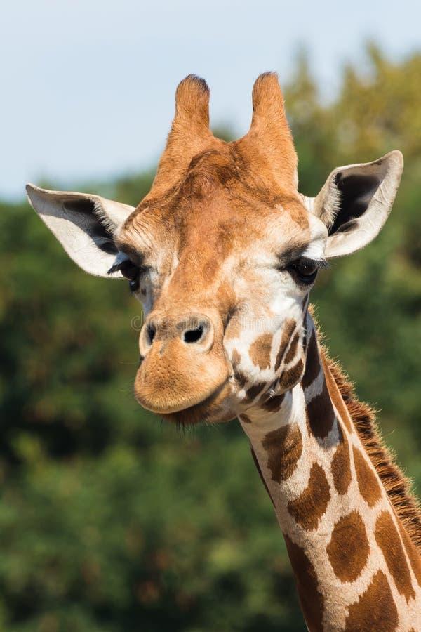 Giraffes dans le zoo La girafe est l'animal le plus grand au monde images libres de droits