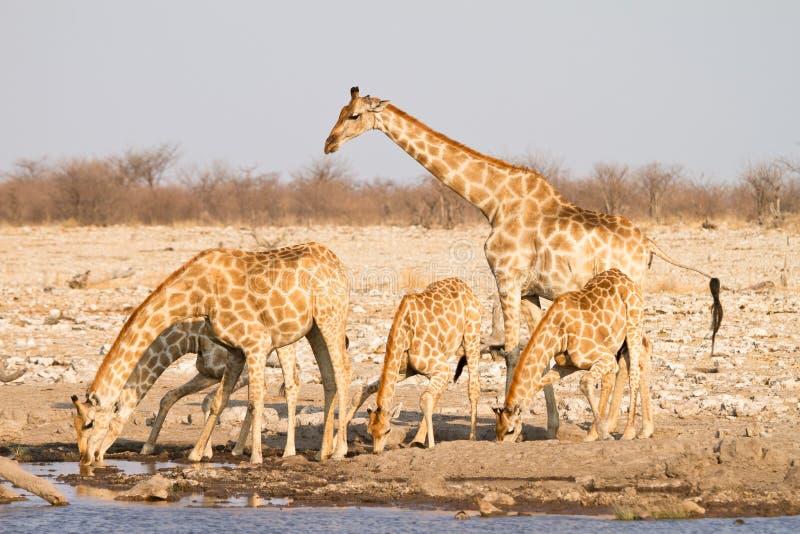 Giraffes drinking royalty free stock photography