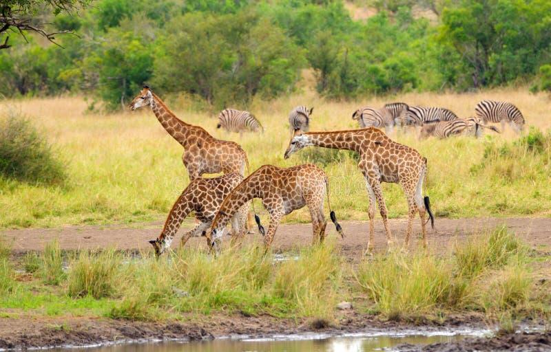 Giraffes Drinking Water- Kruger National Park. Giraffes drinking water with zebras in the background, Kruger National Park. South Africa stock photo