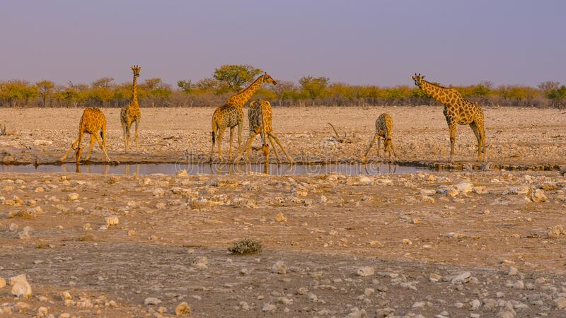 Giraffes drinking water at a waterhole in the Etosha National Park in Namibia. stock image