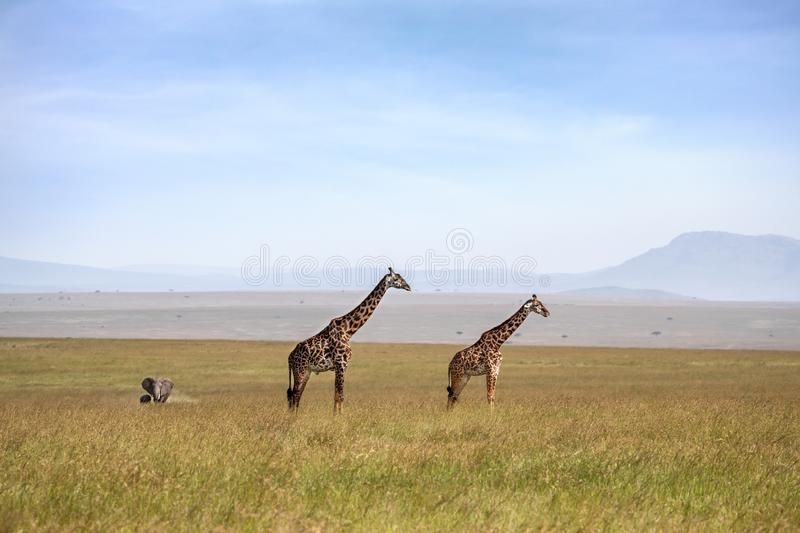 Giraffes and elephants in the Masai Mara stock images
