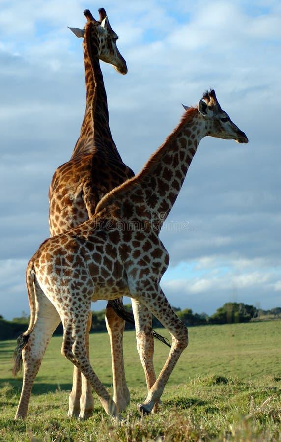 Giraffes em África do Sul fotografia de stock royalty free