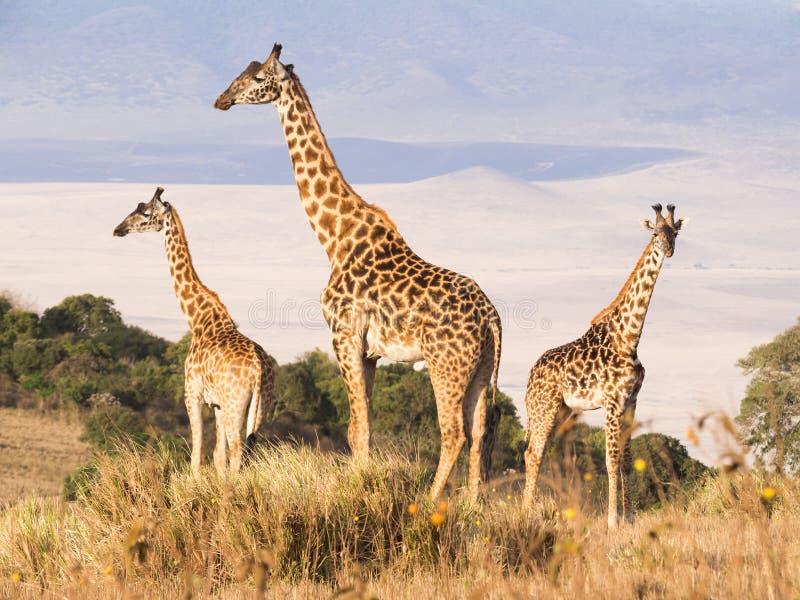 Giraffes em África do Sul foto de stock royalty free