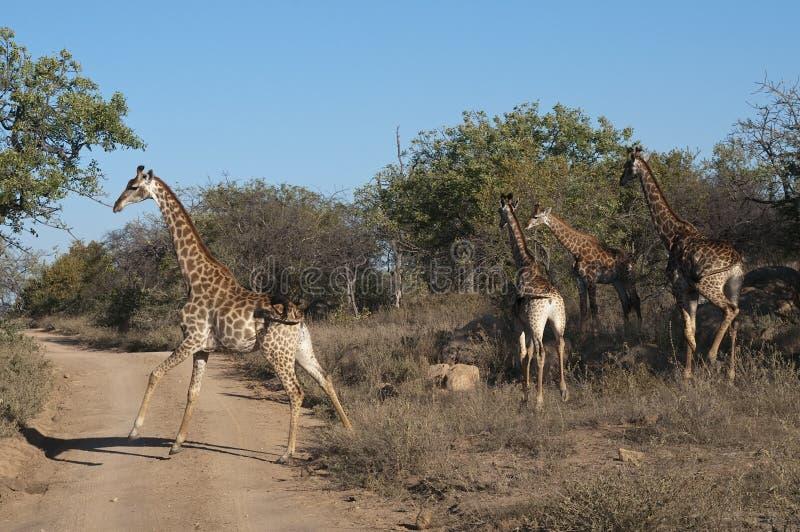 Giraffes en Afrique image libre de droits