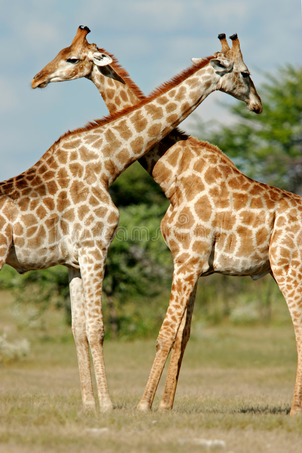 Giraffes, Etosha National Park, Namibia stock photo