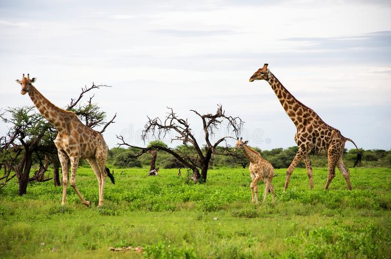 Download Giraffes Family, Etosha Park, Namibia Royalty Free Stock Photo - Image: 24794585