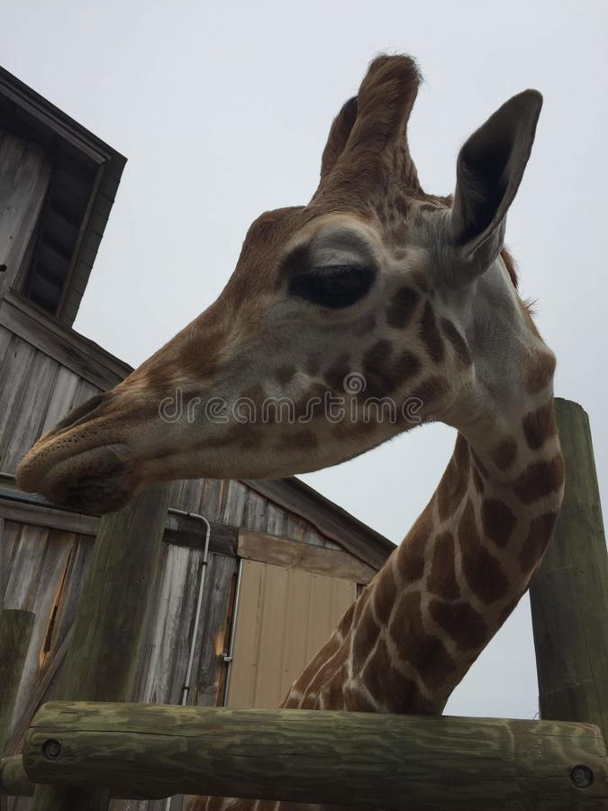 Pair of Giraffes in a wooden pen being fed lettuce with the head approaching the camera great nature shot with wildlife. Giraffes in a fenced yard eating lettuce royalty free stock photography