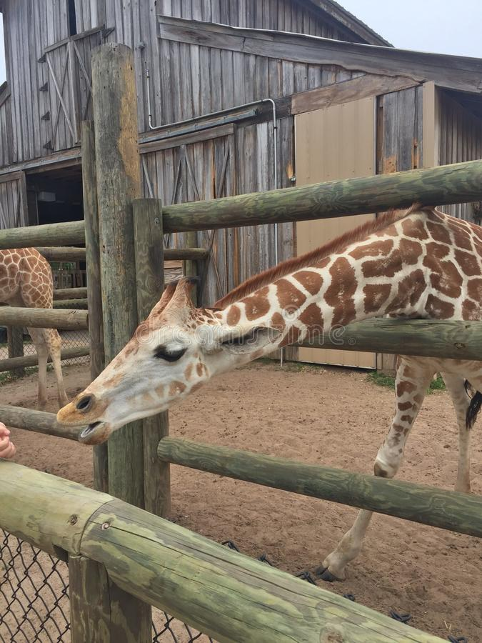 Pair of Giraffes in a wooden pen being fed lettuce with the head approaching the camera great nature shot with wildlife. Giraffes in a fenced yard eating lettuce royalty free stock photo