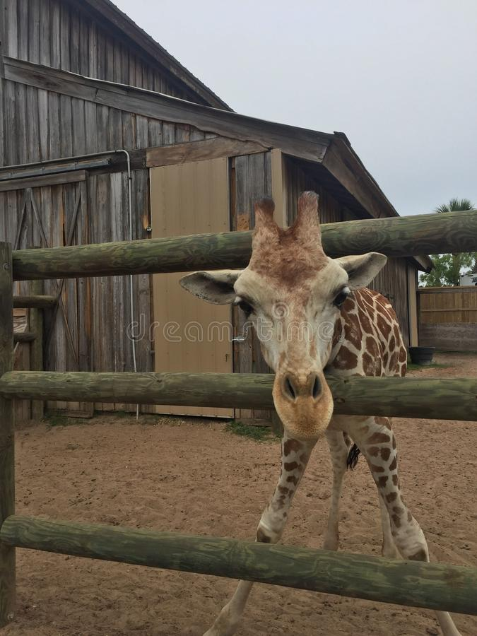 Pair of Giraffes in a wooden pen being fed lettuce with the head approaching the camera great nature shot with wildlife. Giraffes in a fenced yard eating lettuce stock photos