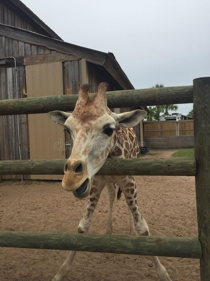 Pair of Giraffes in a wooden pen being fed lettuce with the head approaching the camera great nature shot with wildlife. Giraffes in a fenced yard eating lettuce stock photography