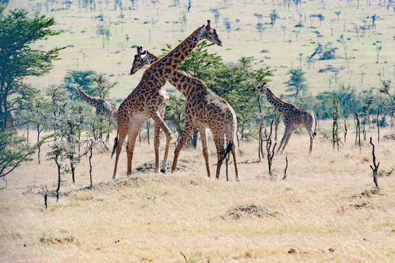 Giraffes fighting in Tanzania, Africa royalty free stock photo