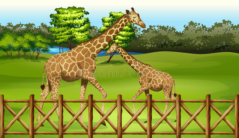 Giraffes in the forest. Illustration of the giraffes in the forest vector illustration
