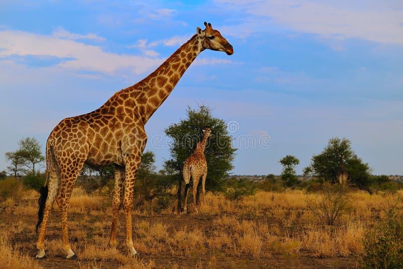 giraffes giraffa camelopardalis ομάδα στοκ εικόνα