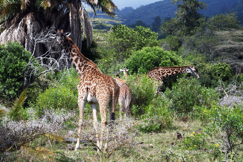 Giraffes group. Some giraffes in the arusha park in tanzania royalty free stock photography