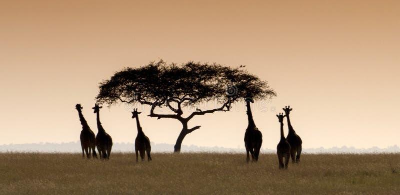 Giraffes herd moving towards an acacia tree. royalty free stock image