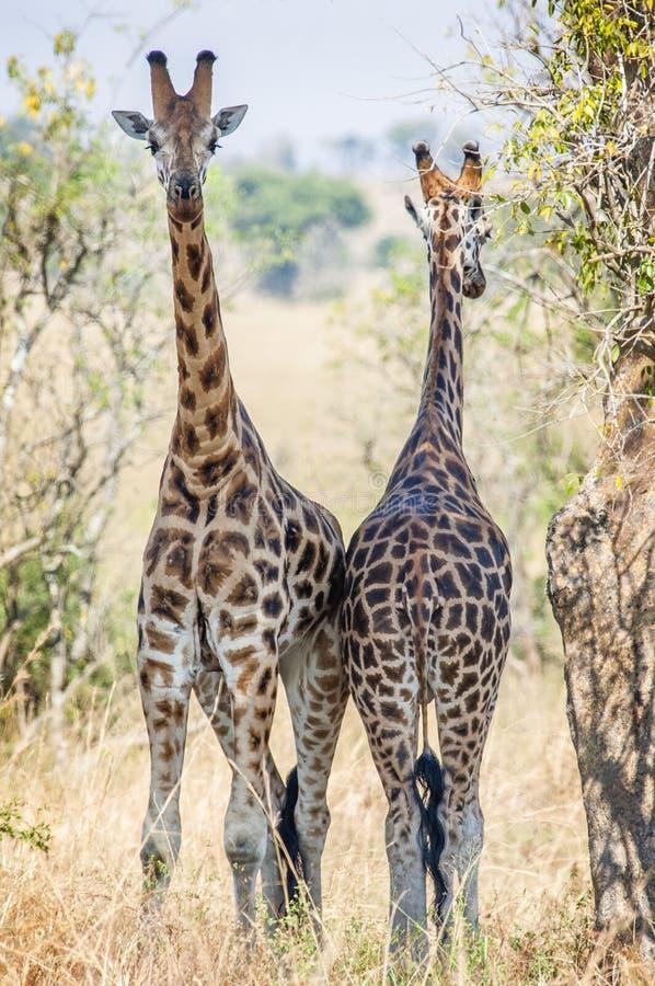 Giraffes hid from the sun in an acacia shadow. Under a shining sun two giraffes stand at a tree. Rothschild Giraffes (Giraffa camelopardalis) in Uganda (Africa royalty free stock photo