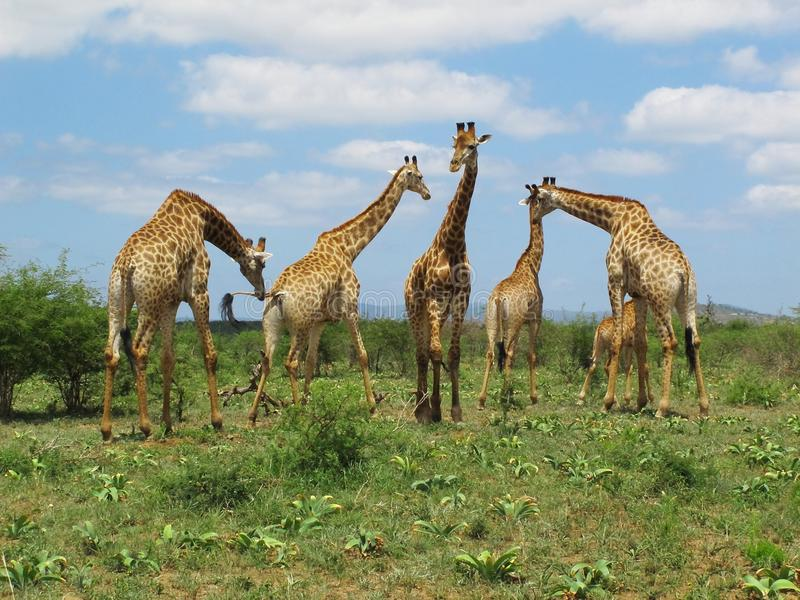 Giraffes at Hluhluwe–Imfolozi Park, South Africa stock photography