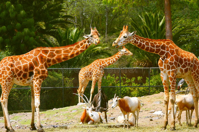 Giraffes IV stock photo