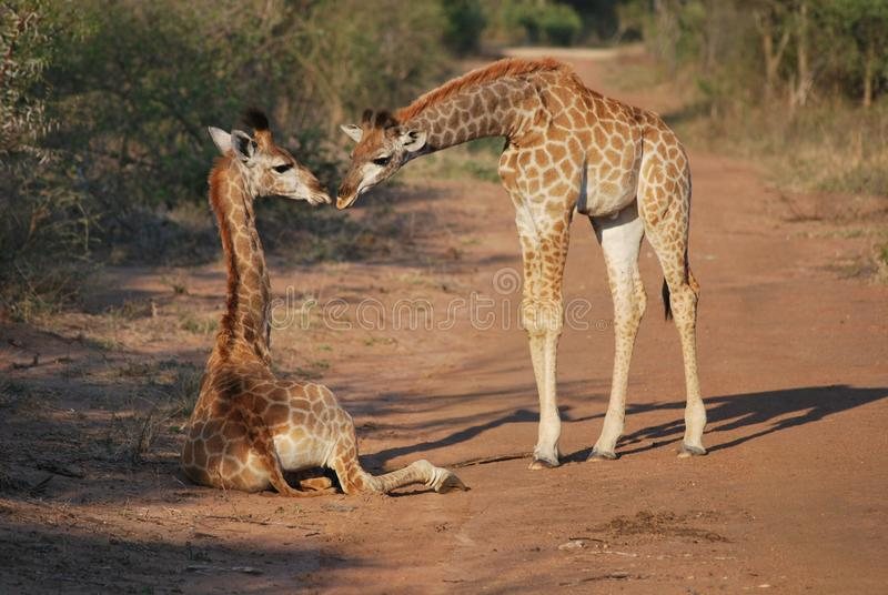 Giraffes in Kapama Private Game Reserve, South Africa. stock photos