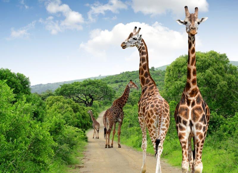 Download Giraffes stock image. Image of safari, ruminant, camelopardalis - 39239529
