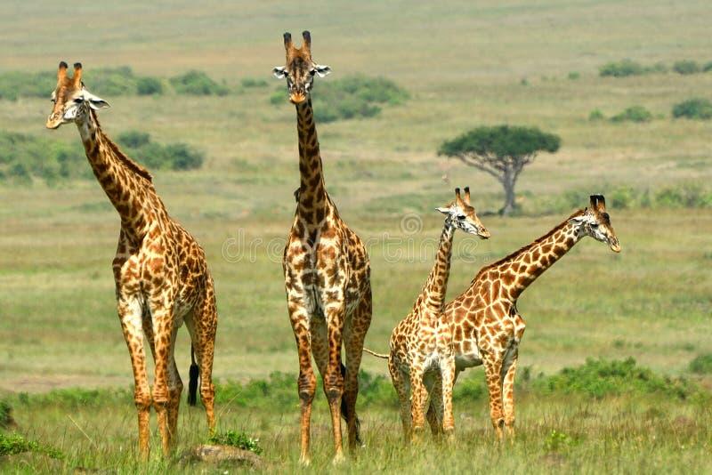 Giraffes Maasai, επιφύλαξη παιχνιδιού Maasai Mara, Κένυα στοκ εικόνες με δικαίωμα ελεύθερης χρήσης