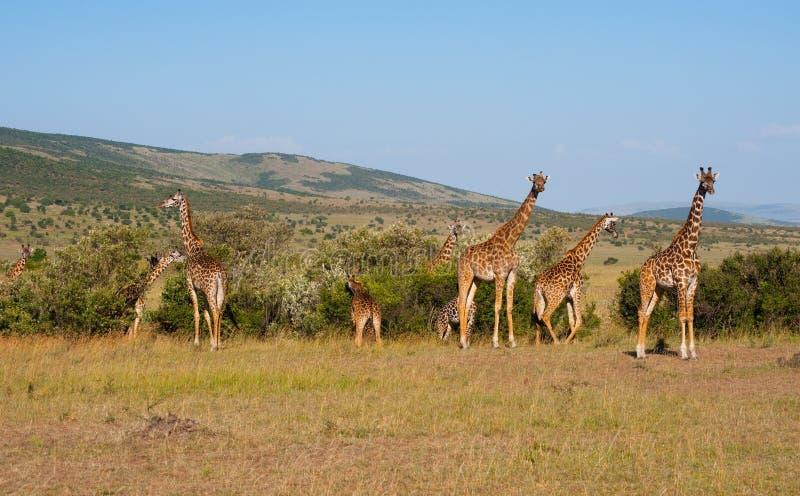 giraffes masai της Κένυας mara στοκ φωτογραφία με δικαίωμα ελεύθερης χρήσης