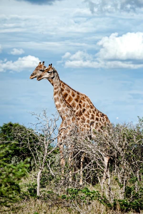 Giraffes, Namibia, Africa. Namibia landscape in the Etosha Park with trees and giraffes stock photo