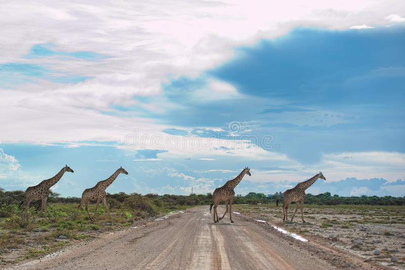 Giraffes, Namibia, Africa. Namibia landscape in the Etosha Park with trees and giraffes stock photos