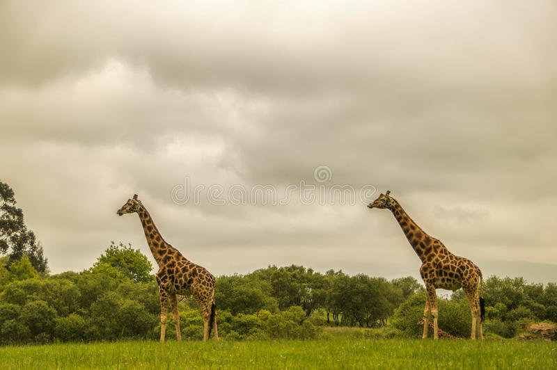 Giraffes in Natural Park royalty free stock photo