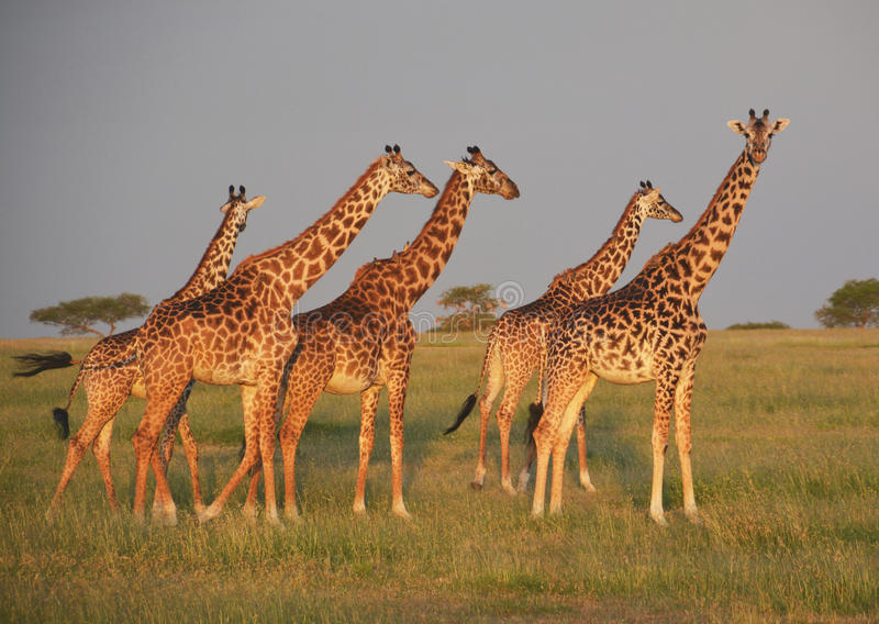 Giraffes on the plains in Africa. In a game reserve in Kenya, Lighting just before sunset stock photography