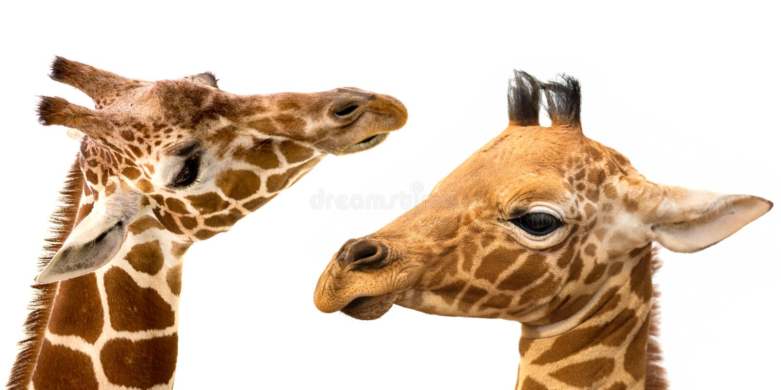 Giraffes portrait on white background royalty free stock photo