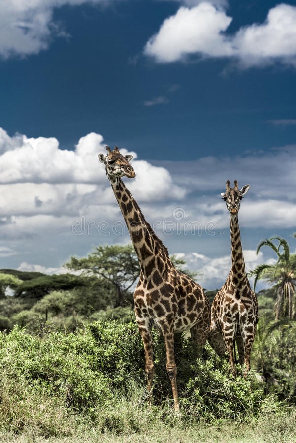 Giraffes in savannah, Serengeti national park royalty free stock images