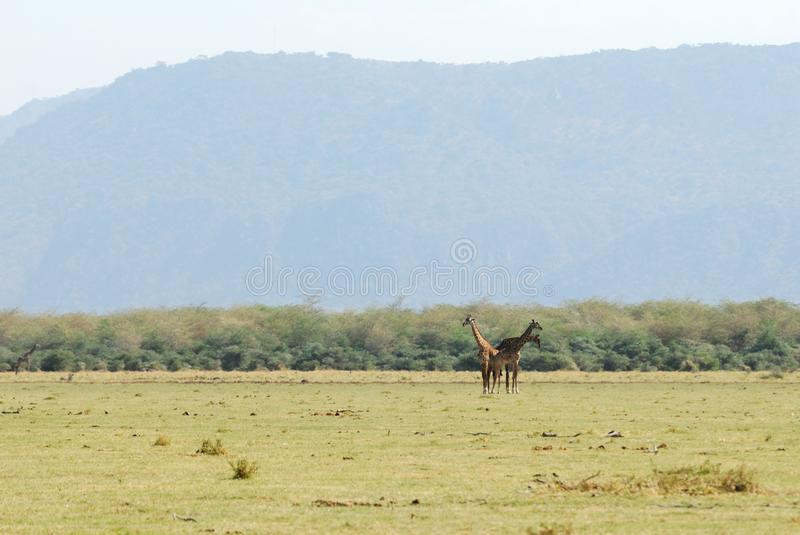 Giraffes, Serengeti National Park, Tanzania stock photography