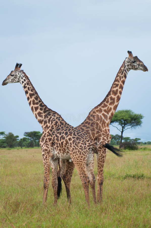 Giraffes at Serengeti national park, Tanzania, Africa royalty free stock photos