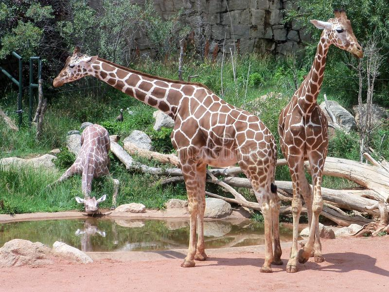 Giraffes standing together. royalty free stock image