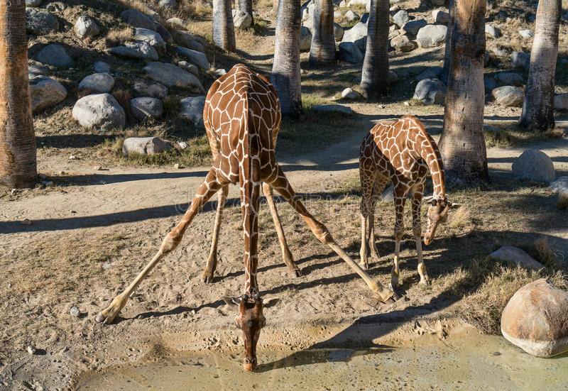 Download Giraffes taking a drink stock image. Image of camelopardalis - 28812925