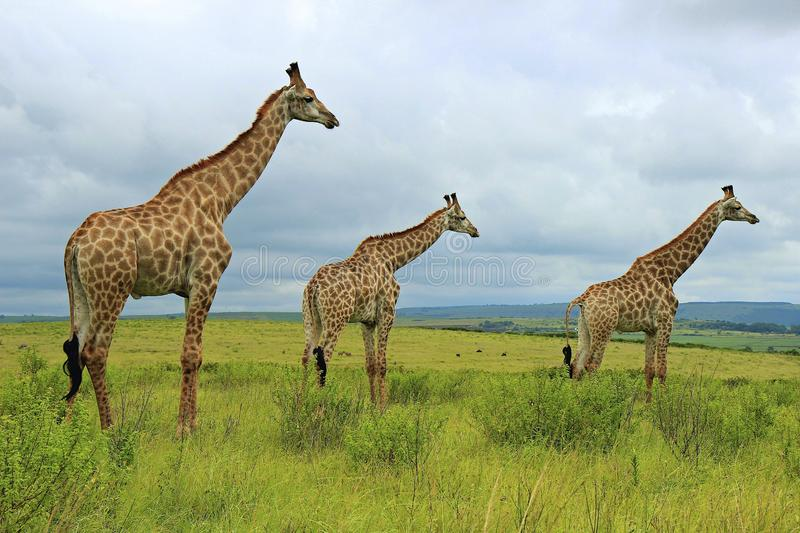 Giraffes. In Tala Game Reserve, South Africa
