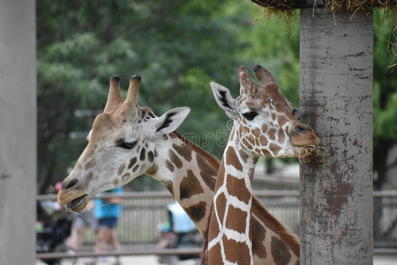 Giraffes. At the Tulsa Zoo, mother and baby stock photography